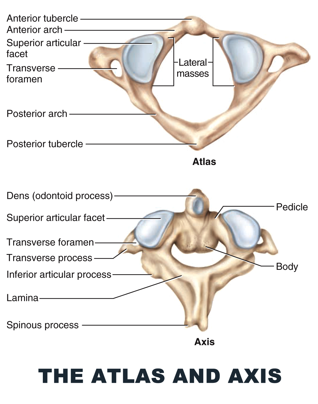 The Atlas and Axis - #anatomy images illustrations #anatomy images ...