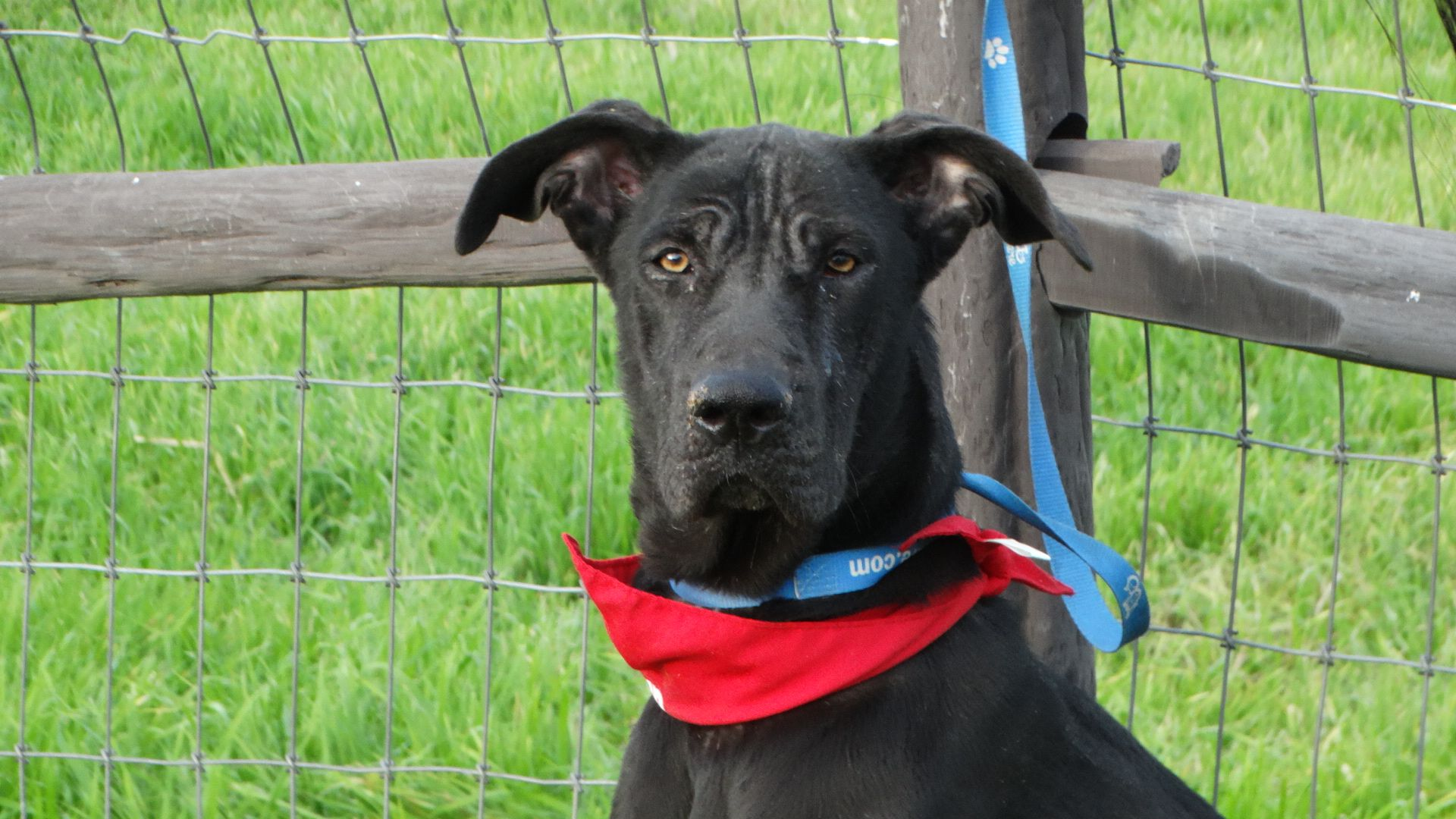 Great Dane dog for Adoption in Vacaville, CA. ADN433994