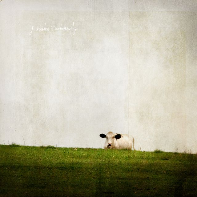 Cow of Silence by jamie heiden, via Flickr