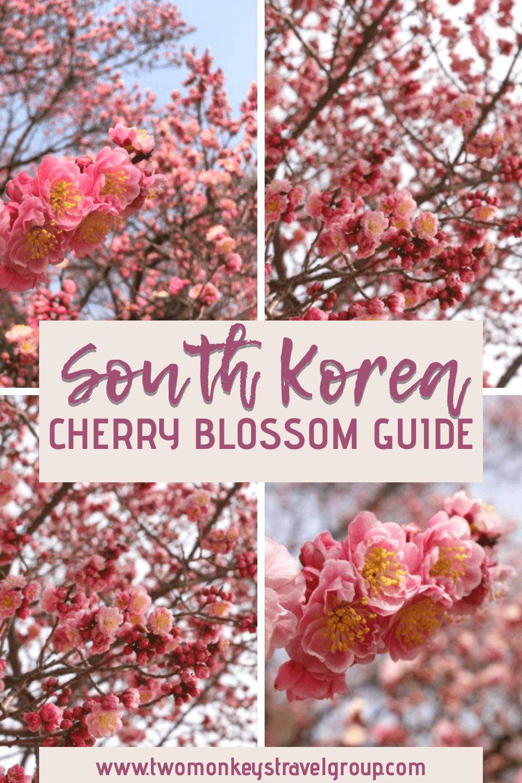 South Korea Cherry Blossom Guide When And Where For Cherry Blossom Cherry Blossom Blossom Cherry Blossom Festival