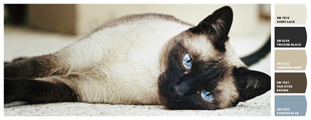 I Just Spotted The Perfect Colors Siamese Kittens Balinese Cat