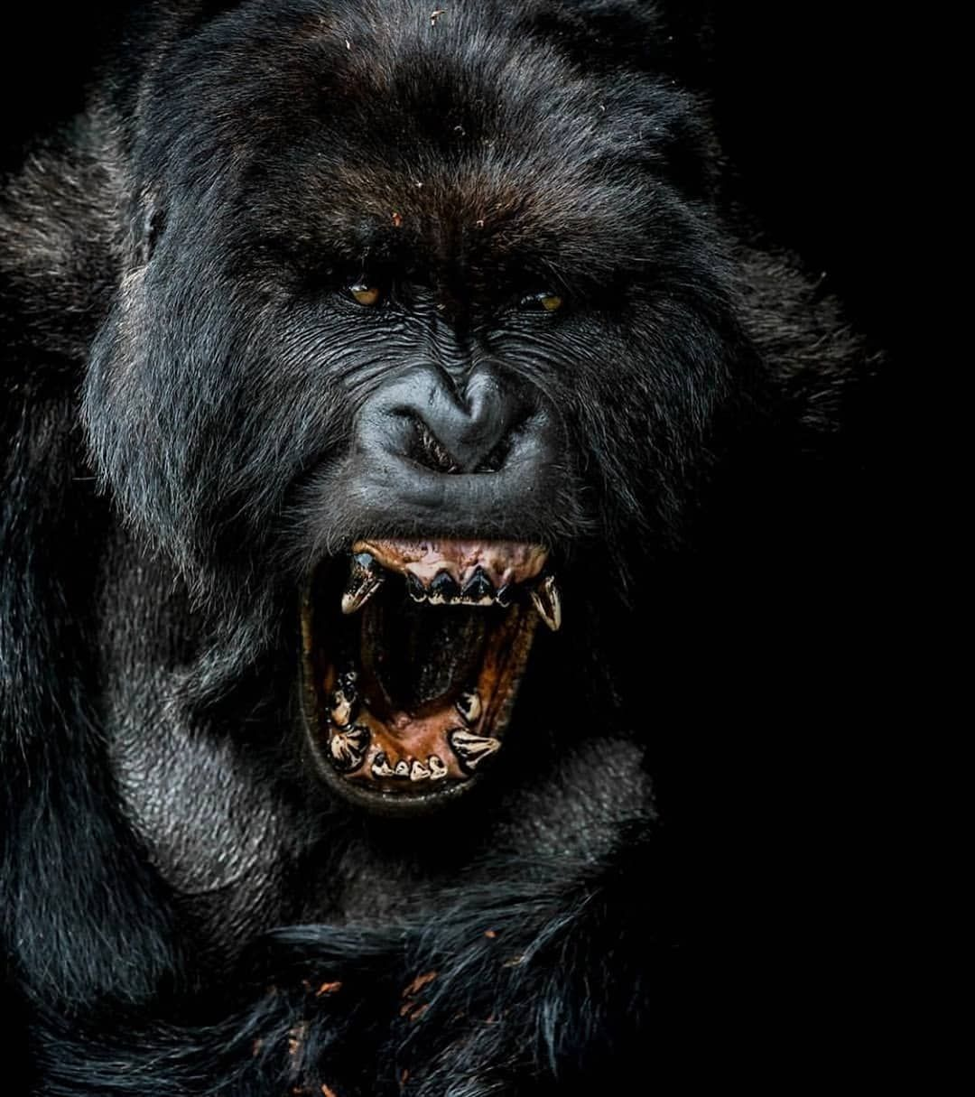 A Gorrila screaming. Wildlife animals, Volcano national