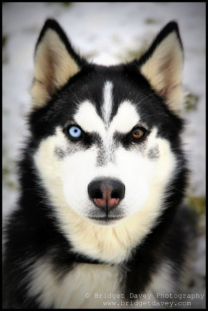 Different Colored Eyes Husky Puppies With Different Colored Eyes