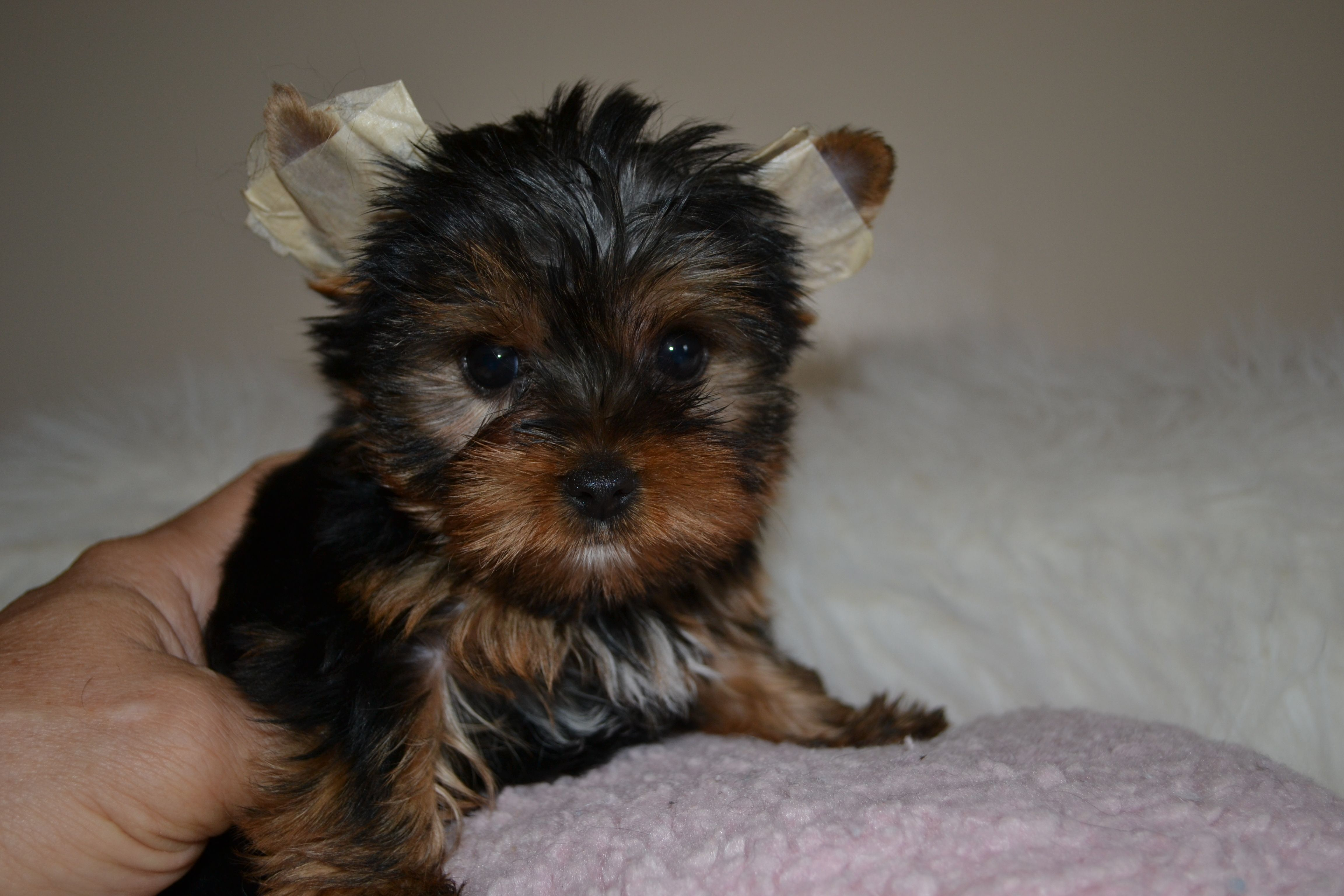 Akc Yorkie Puppies For Sale In Tn Northshore Yorkshire Terriers