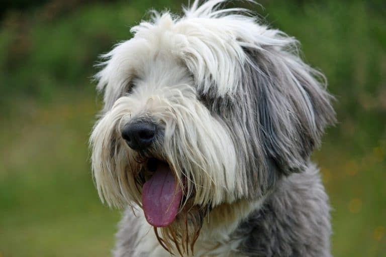13 Big Dogs That Don T Shed Large Non Shedding Dog Breeds Bearded Collie Fluffy Dogs Dog Breeds