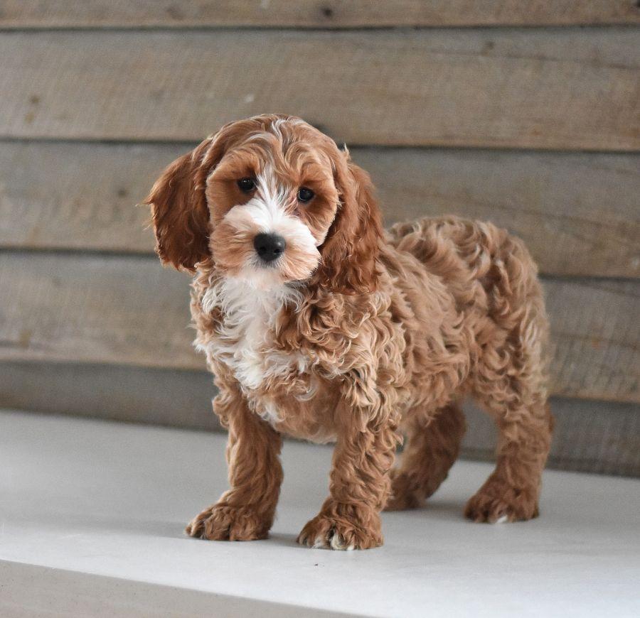Cockapoo puppies for sale in 2020 puppies cockapoo