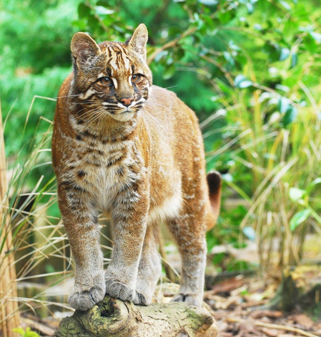 Asian And African Golden Cats Facts And Pictures