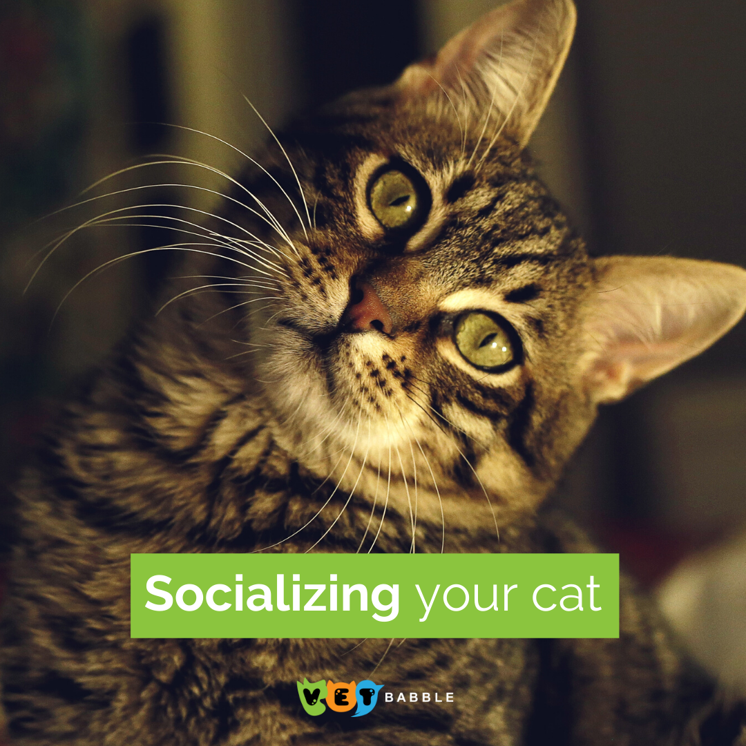 Socializing Your Cat In 2020 Cats Cute Cats Kitten