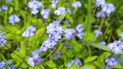 Forget-me-nots, Spring blue flowers, HD footage