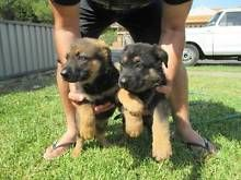 German Shepherd Puppies In Victoria Gumtree Australia Free Local