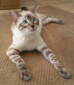 Adopt Zorro Wi On Petfinder Bengal Cat Baby Cats Bengal Kitten