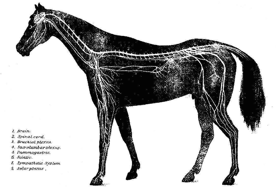 Horse nervous system saferbrowser yahoo image search results horse nervous system saferbrowser yahoo image search results ccuart Gallery