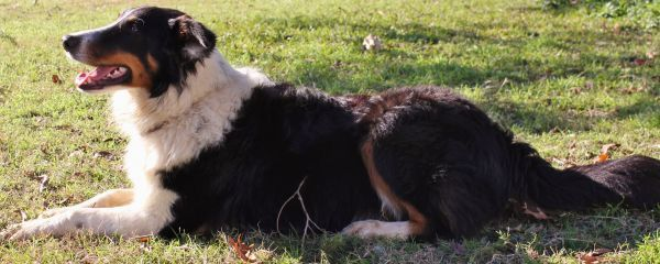 Pin On Old Time Scotch Colliesfarm Collies
