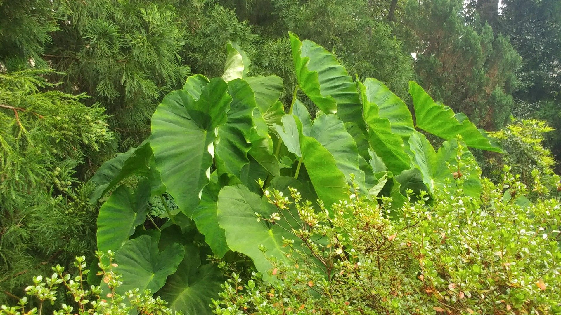 Elephant ears these continue to grow thru august plant