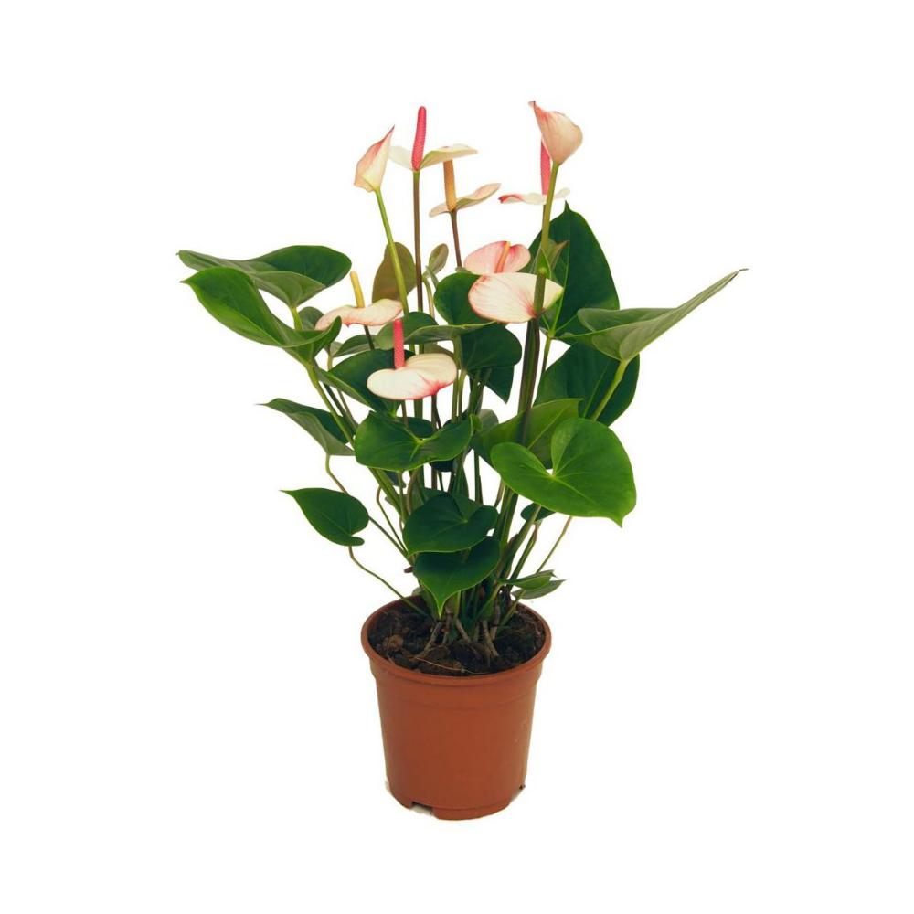 Anturium Andreego Amalia Elegance 60 Cm Kwiaty Doniczkowe W Atrakcyjnej Cenie W Sklepach Leroy Merlin Anthurium Secret Garden Garden