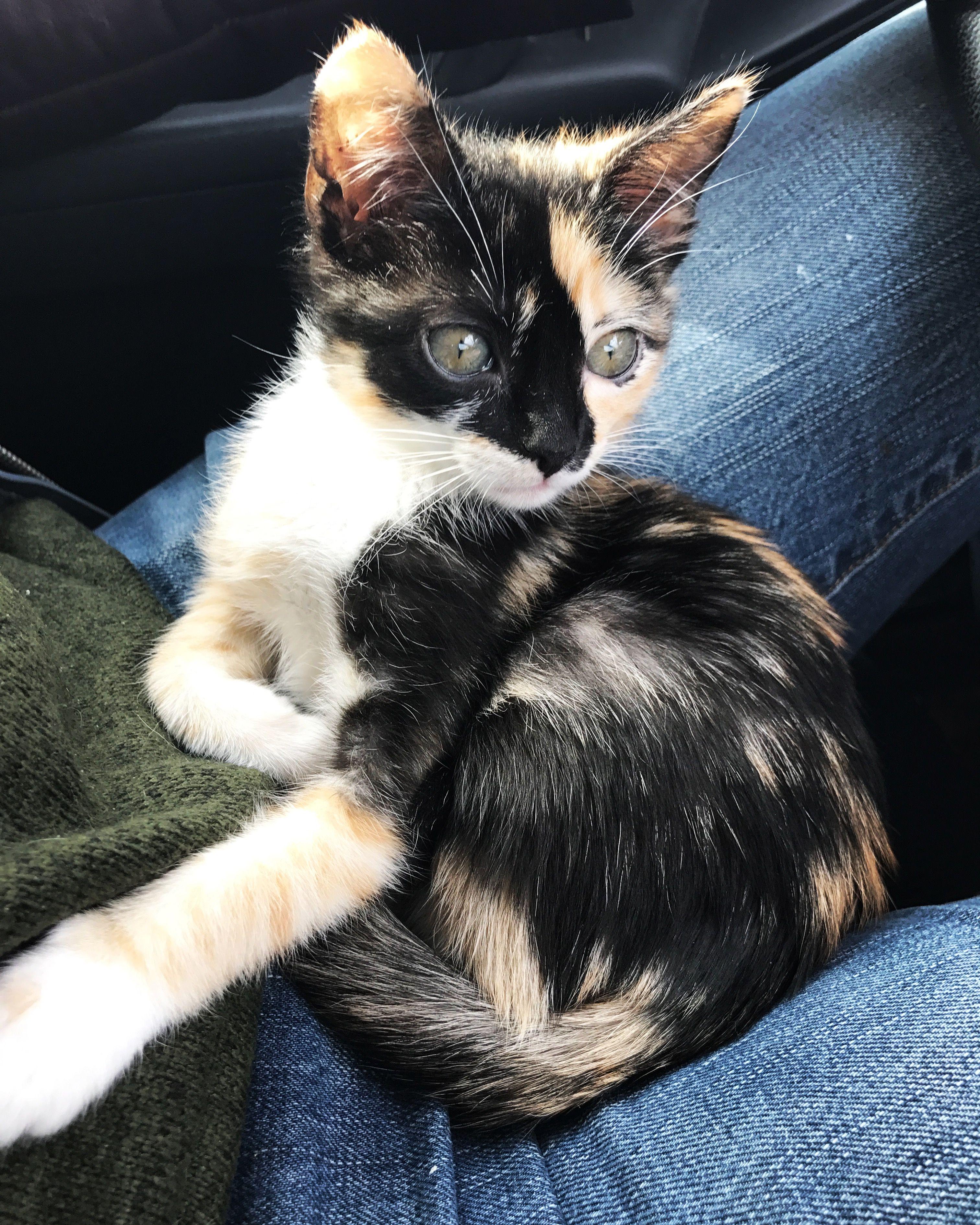Calico Kitten Kingsleyandvoldemort Cute Baby Cats Pretty Cats Cute Cats