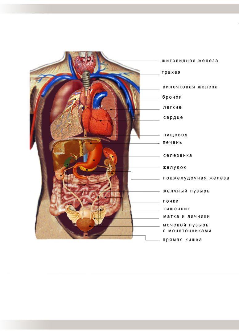 Расположение органов человека в брюшной полости схема фото 923