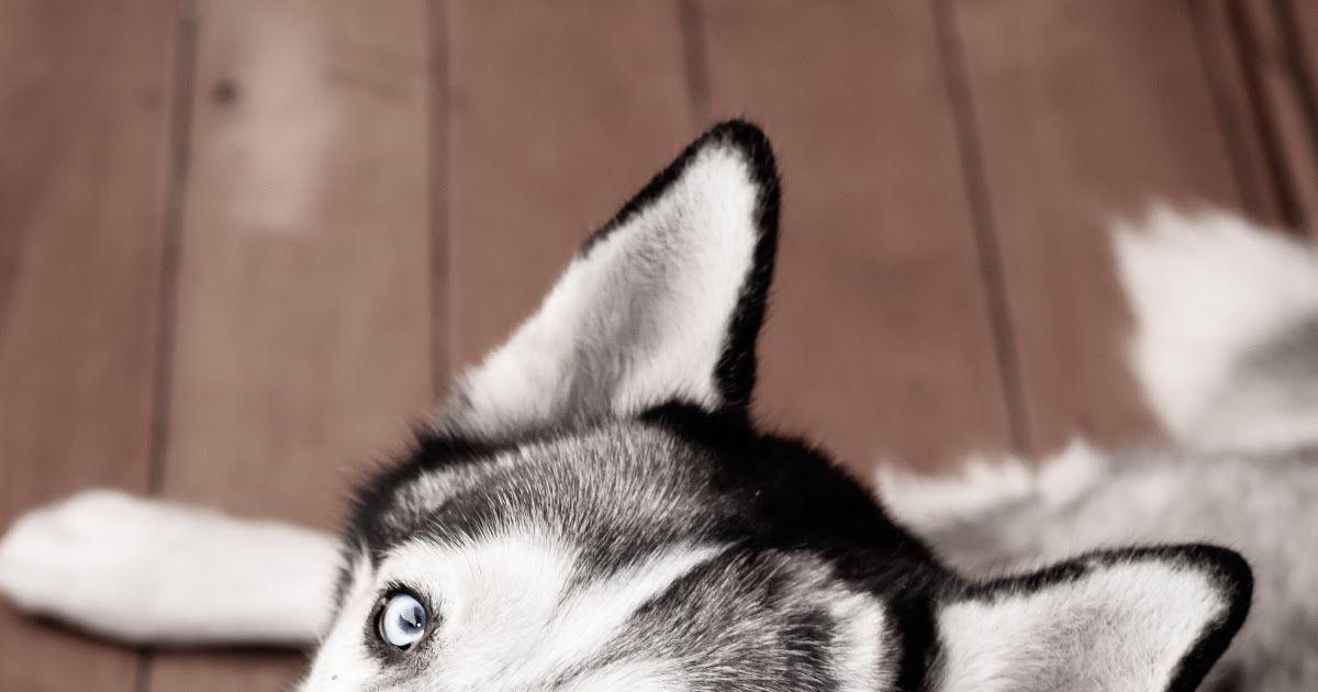 Husky Dog Names The Best Husky Names For Your Siberian 400 Cute Unique Funny Husky Names Playbarkrun Badass Dog Na Dog Names Husky Dog Names Good Husky Names