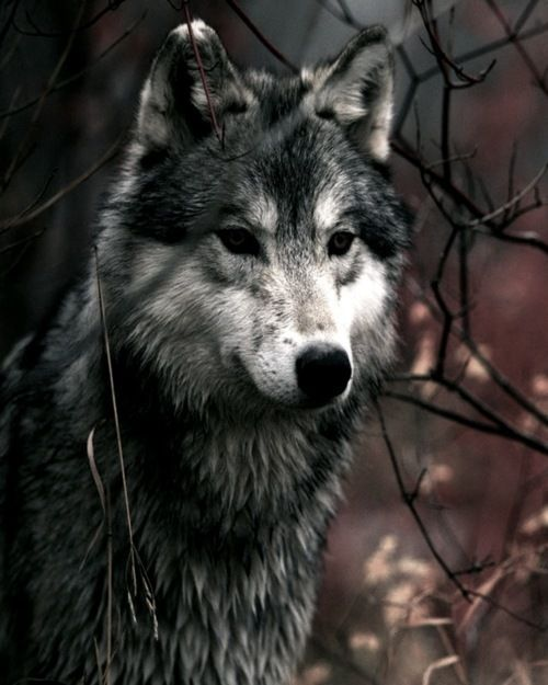 A majestic wild wolf in the woods.