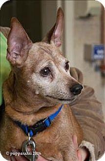 Duluth Mn Miniature Pinscher Mix Meet Earl Yippington A Dog For Adoption Miniature Pinscher Pets Pet Adoption