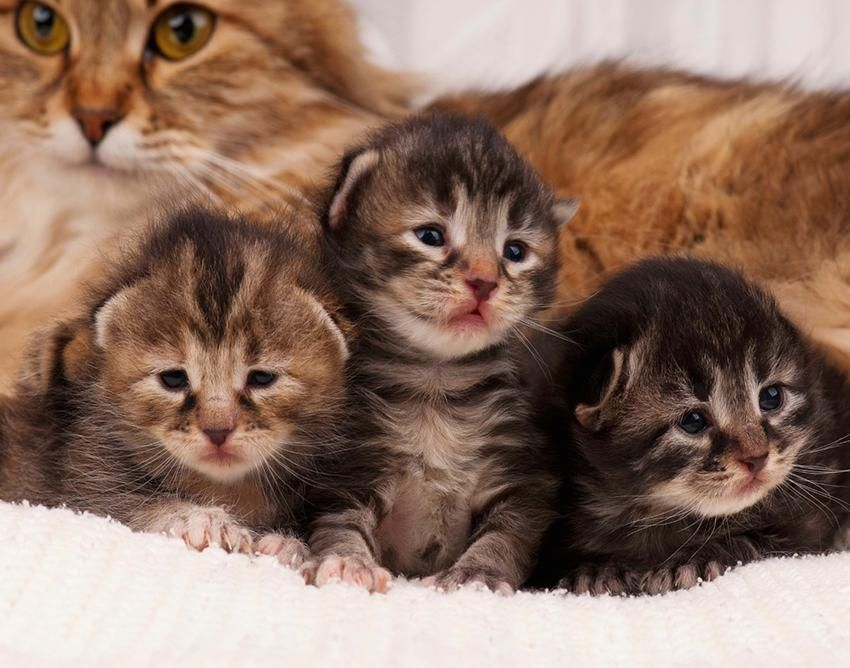 Pictures Of Cute Fuzzy Kittens Lovetoknow Siberian Kittens
