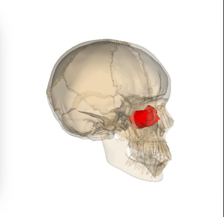 Ethmoid Bone Most Deep Of The Skull Lies Between Sphenoid And