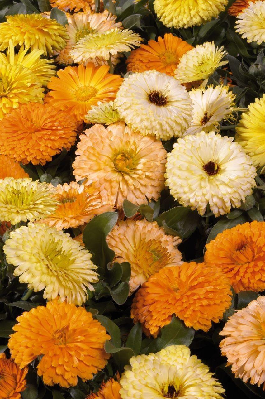 """Bon Bon"" Calendula mix Chhajedgarden.con Annual flowers"