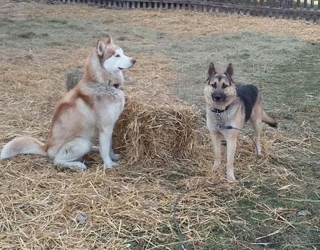 Adopt Sabre And Rolo On Pets Husky Husky Mix