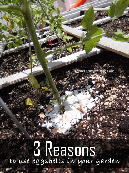 3 fabulous uses for egg shells in your garden pest for Three uses of soil