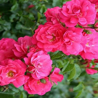 8 In Potted Flower Carpet Pink Supreme Groundcover Rose Plant R3825g8in At The Home Depot With Images Planting Roses Ground Cover Roses Flower Pots
