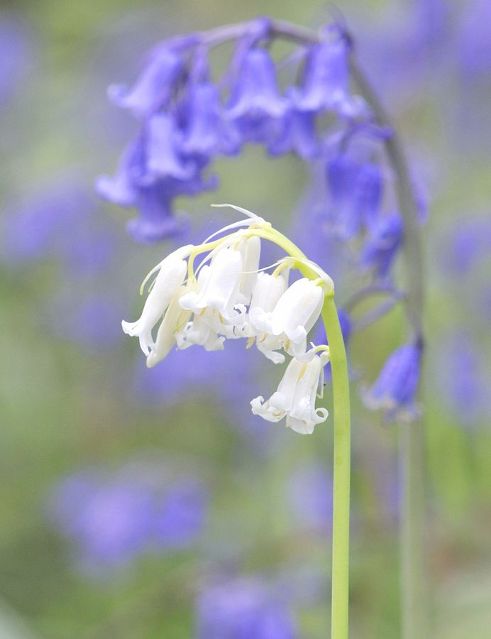 White blue bell flowers gardens pinterest flowers white blue bell mightylinksfo