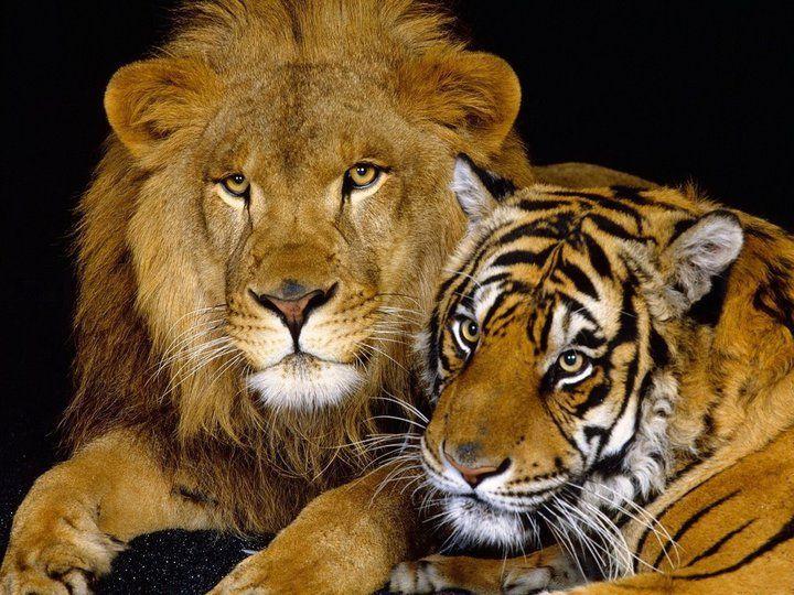Leon Y Tigre Felino Gatto Grande Gatti Selvatici