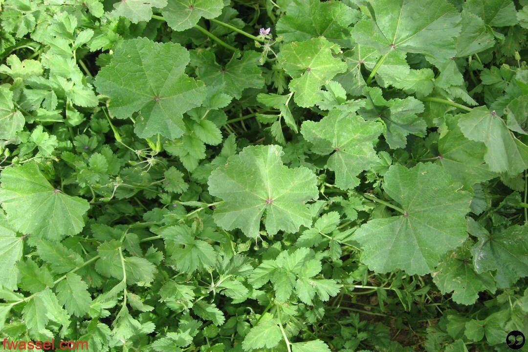 فوائد وأضرار نبات الخبيزة Herbs Photo