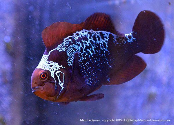 The Lightning Project The Ongoing Saga Of The Png Lightning Maroon Clownfish Breeding Project Pet Fish Clown Fish Animal Study