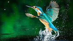 Kingfisher Bird Hd Wallpapers Free Download 1080p Animal Wallpaper Bird Wallpaper Beautiful Birds