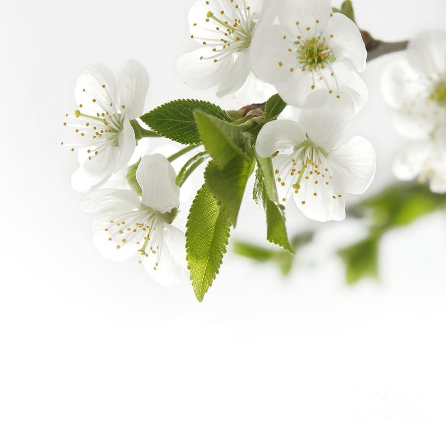 100 types of the most beautiful white flowers for your garden types of the most beautiful white flowers for your garden dhlflorist Images