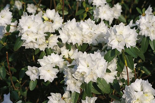 rhododendron blutezeit april snow dauricum nepal