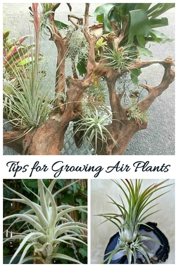 Tips for Growing Air Plants How to Care for Tillandsia