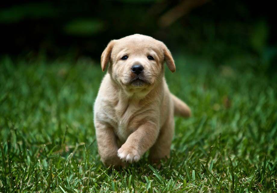 Buy Labrador Retriever Puppies References