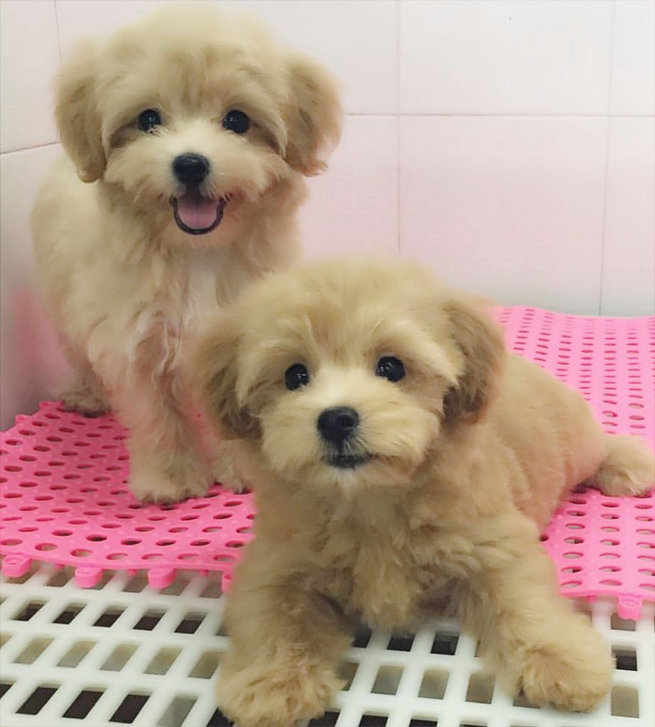 Pin By Marti Lu On Puppies Dogs Cute Pictures Maltipoo