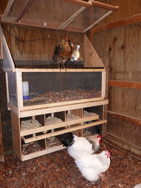 Important Information on Feeding Raised Chickens