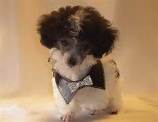 Teacup Poodles I Wanna Be Your Mommy Tea Cup Poodle Teacup Poodle Puppies Poodle