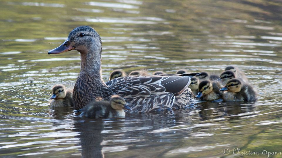 Mallard Family, photo by Christina Spann