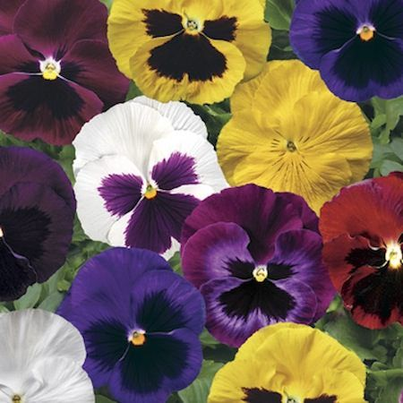 Pansy Colossus Formula Mix Annual Flower Seeds Annual Flowers Pansies Flowers Pansies