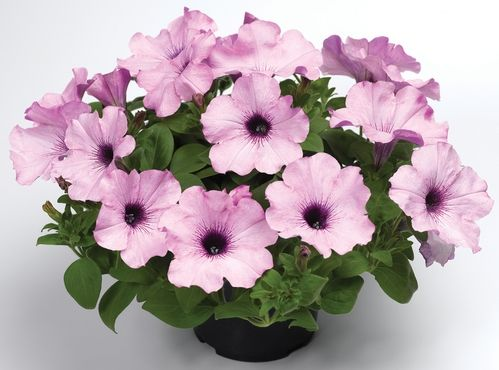 Petunia Ramblin' Amethyst trailing petunia is incredible because of its consistent flowering in the garden.