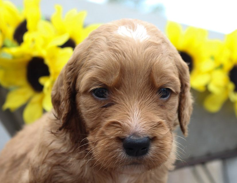Goldendoodle pup in New Haven, Indiana for sale