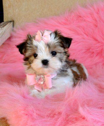 Tiny Maltzu Puppy Adorable little Princess!!Sold Cute