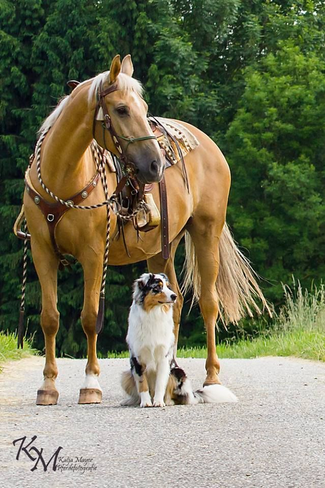 Palomino and Aussie, horse and dog as pretty as can be!