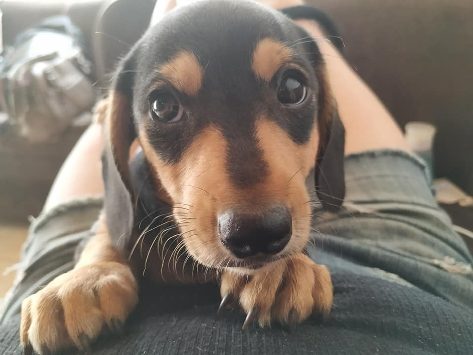 9 Benefits Of Owning A Dachshund That Will Make You Surprised
