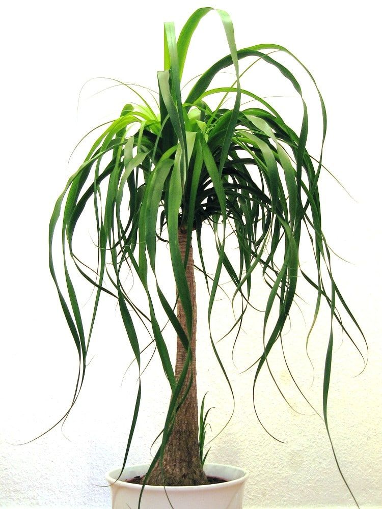 How to care for a ponytail palm indoors smart garden